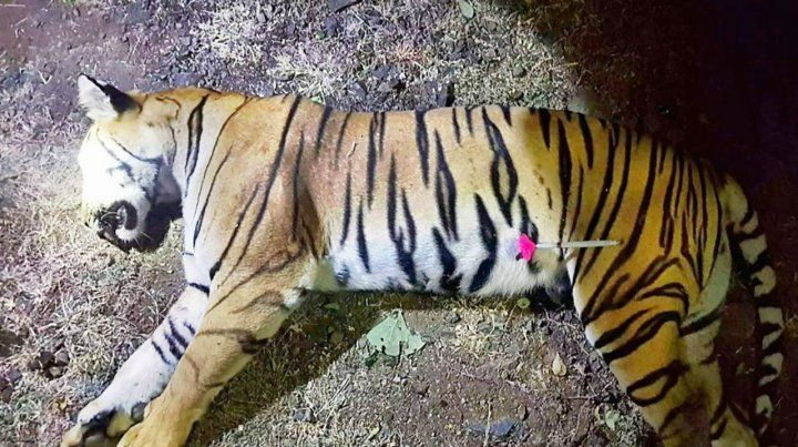 Muerta. La tigresa abatida. Antes se le tiró un dardo adormecedor.