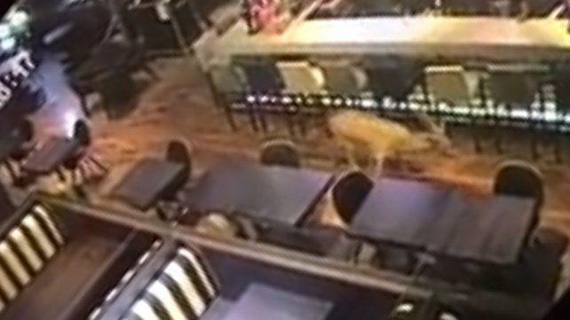 Hallaron muerto al ciervo que irrumpió por una ventana a un bar de Rosario