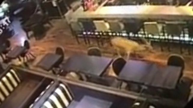 Entre las mesas. Las cámaras de seguridad de Johnny B. Good captaron al ciervo dentro del bar.