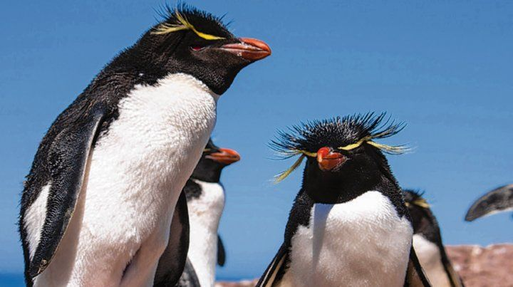 Pingüinos de penacho amarillo.