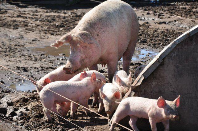 Cambio. Los precios del capón porcino suben más que los granos