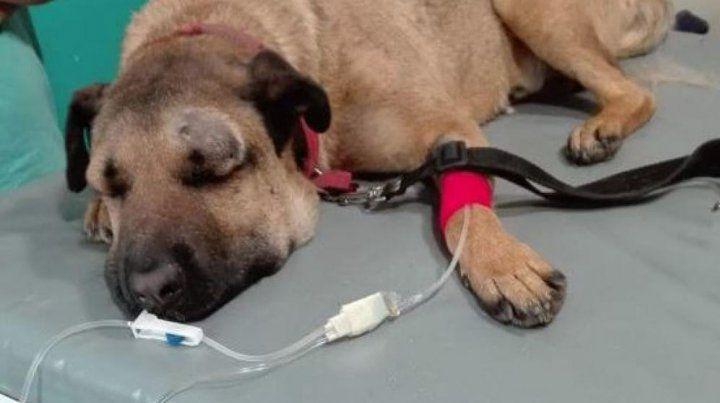 Simón, el perro que fue mordido por una yarará por salvar a tres niños