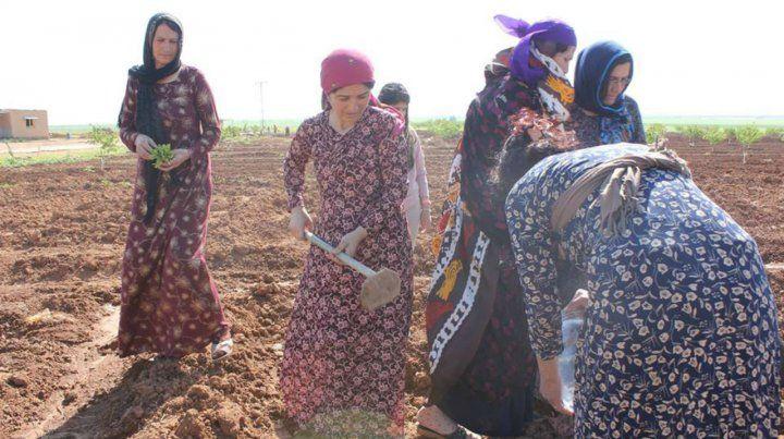 A trabajar. Las mujeres de Jinwar en un campo comunal de cultivo de cereales.