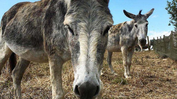 Ofrecen recompensa para encontrar a Juanchi, el otro burro desaparecido de Cachamai