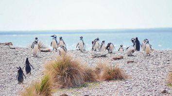 Visitantes distinguidos. Los pingüinos de Magallanes se quedan hasta el mes de abril en Punta Tombo y en las colonias de Península Valdes.
