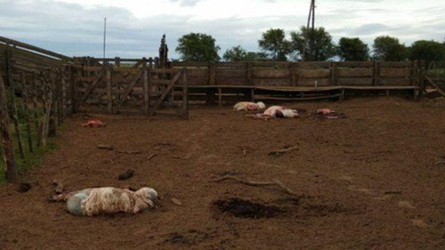 Escena repetida. La triste imagen de animales carneados por cuatreros.