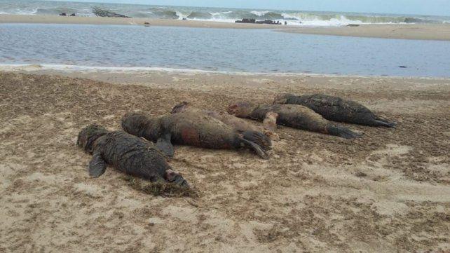 Investigan la muerte de unos 80 lobos marinos en la costa uruguaya