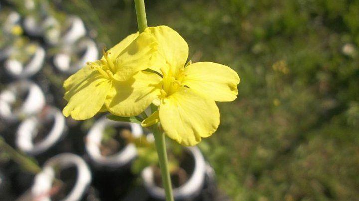 Salvadora. La mostaza etíope además puede utilizarse para la fabricación de biodiesel.
