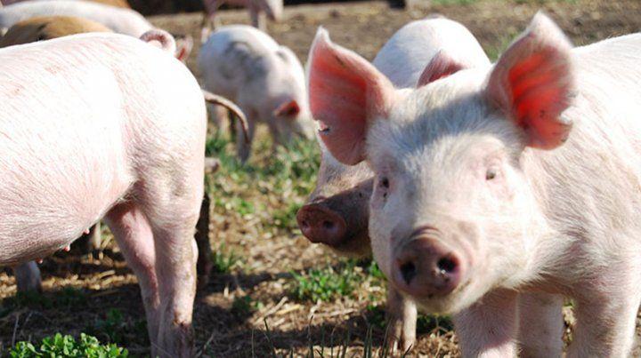 Afectados. Los porcinos se contagian por contacto con animales infectados.