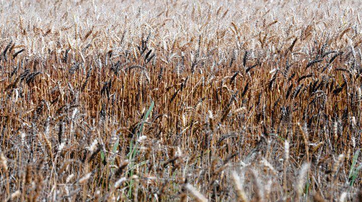 Potencial. Los despachos de trigo desde la región crecen año a año.
