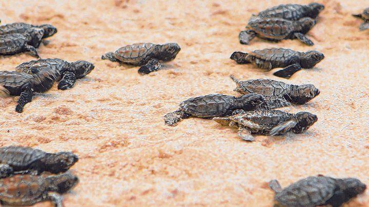 Protegidas. La tortuga conocida como tortuga carey pone sus huevos en playas cercanas al centro de la ciudad.