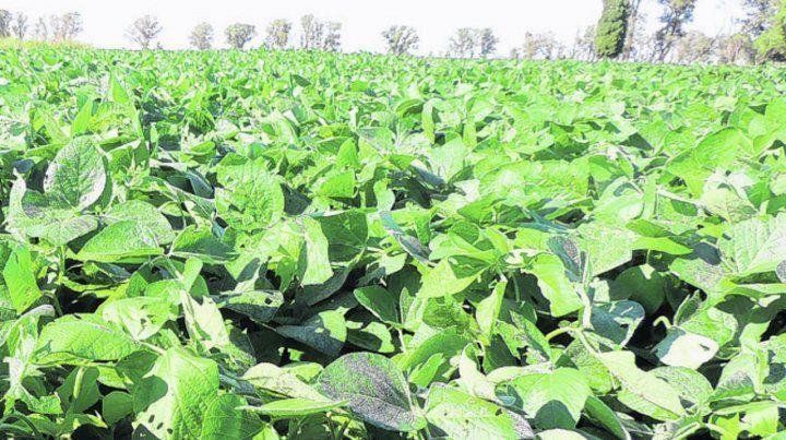 Arriba. El estado de los cultivos de soja de primera eleva la vara de rindes.