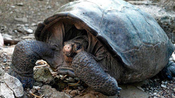 Encontraron una tortuga en Galápagos que suponían extinguida hace un siglo
