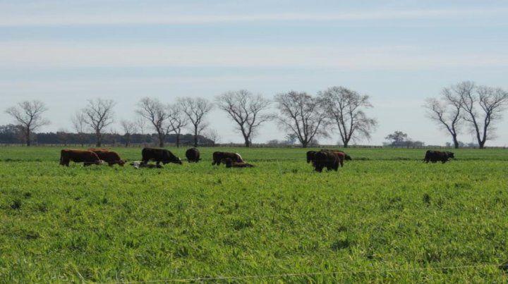 Vacas a pasto. La incorporación de ganado en el sistema agrícola aporta rentabilidad.