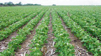 Más quintales. Las lluvias aportaron más productividad a la soja.