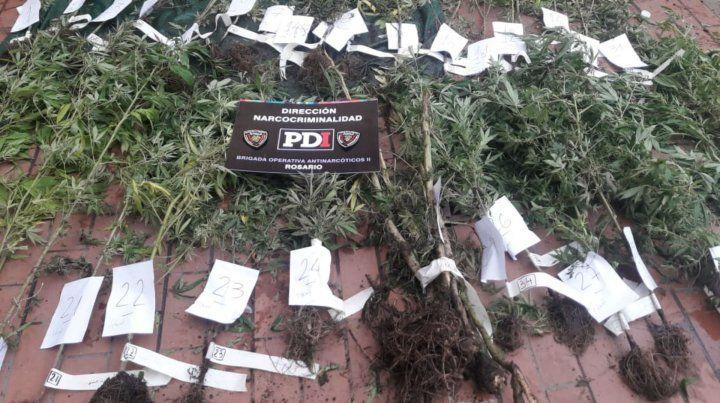 Las matas de marihuana estaban plantadas en el patio trasero de una casa.