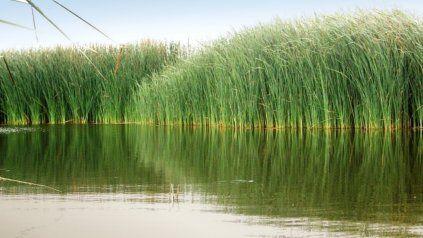 Las especies desarrolladas en las cuencas alta y media del río Matanza-Riachuelo, para frenar la eutrofización.