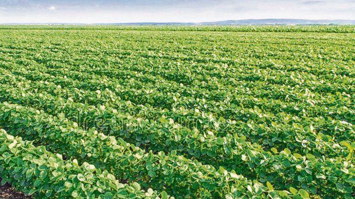 soja. La oleaginosa alcanzaría las 46 millones de toneladas según Ieral