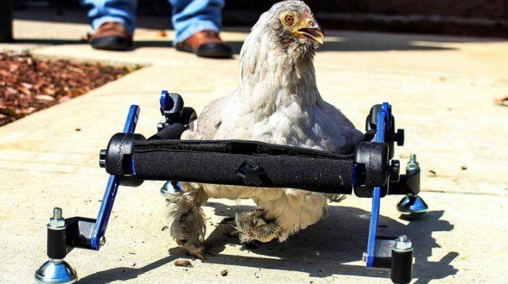 Tiene una gallina en silla de ruedas y la defiende de las burlas
