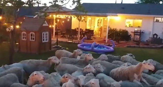 Se olvidó de cerrar la puerta y cientos de ovejas le invadieron el patio