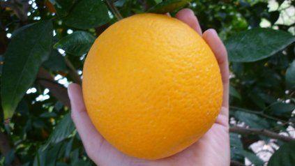 Cambio climático: optimizan recursos para producir naranjas