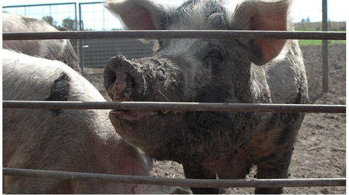 La peste porcina africana: crisis y también oportunidad