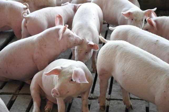Oportunidades para la producción porcina local