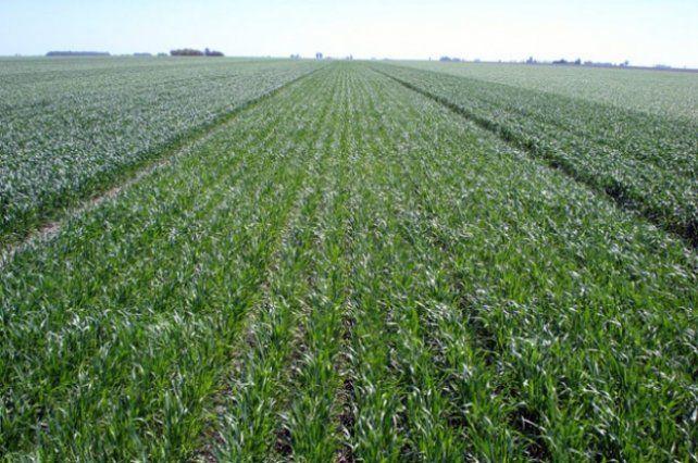 Las lluvias afianzaron el suelo para implantar trigo en la zona núcleo
