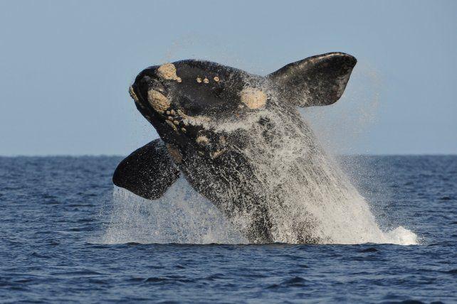 Puerto Madryn: llegaron las primeras ballenas