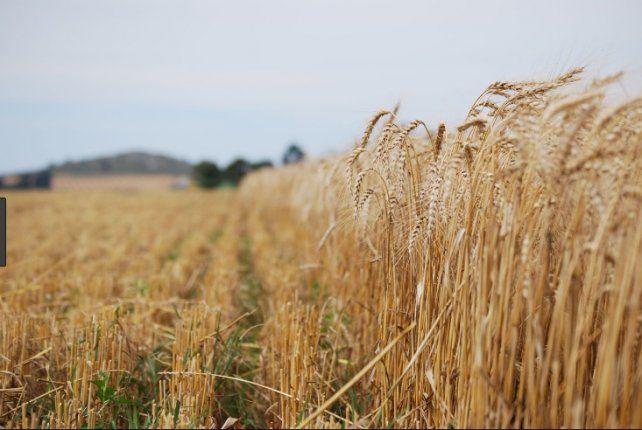 La Bolsa estima un crecimiento en la siembra de trigo