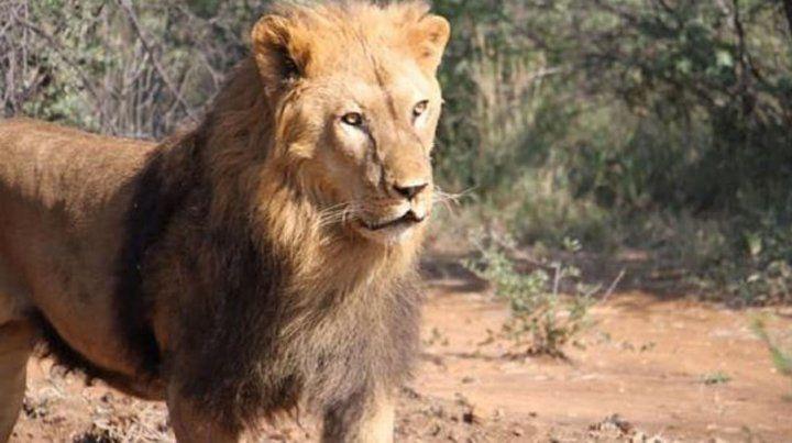 La reacción de dos leones que fueron trasladados de Santiago del Estero a Sudáfrica