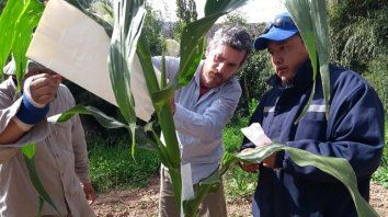 A las raíces: los maíces nativos en riesgo, vuelven al pago