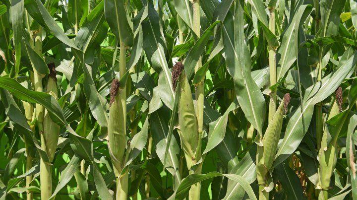 El maíz se expande y busca agrandar sus fronteras