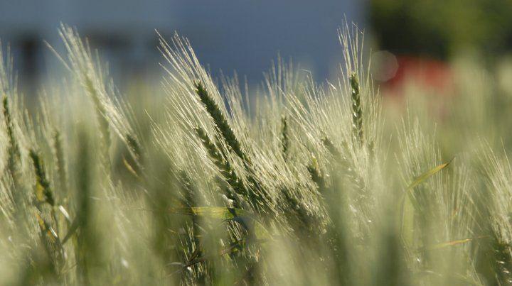 Más área. Se prevé un incremento de 200 mil hectáreas sembradas este año.