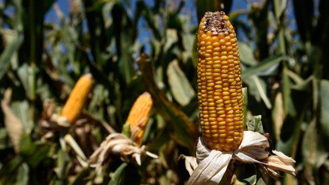 Más volumen. La producción de maíz alcanzaría los 13 millones de toneladas.