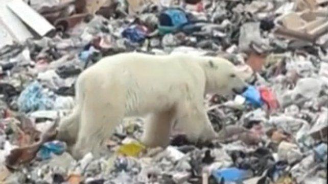 El video de un oso polar famélico y lejos de su hábitat sacude las redes