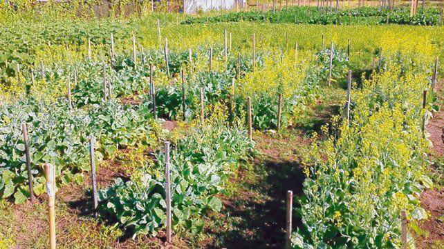 optimo. El grano alcanza la madurez fisiológica para cosecharlo cuando alcanza una humedad entre 45 y 46%.
