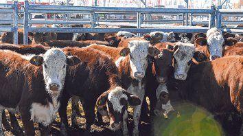 Pesan fuerte. Las vacas tienen cada vez más presencia en Agroactiva. Los grandes remates lo demuestran.