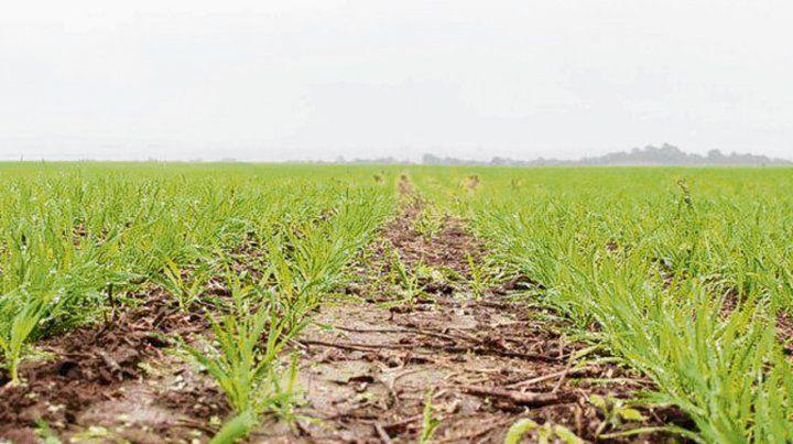 Incipiente. Las lluvias complicaron el implante de trigo del ciclo nuevo.