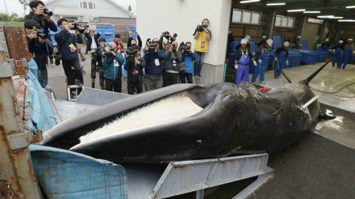 Matanza. Una ballena recién cazada es descargada en el puerto de Kushiro.