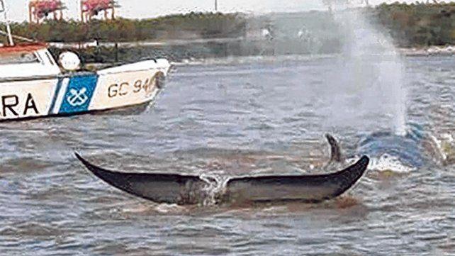Increíble. Una ballena de mediano tamaño apareció el domingo nadando en el kilómetro 76 del río Paraná