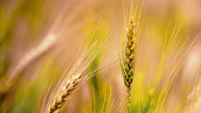 Récord. En 15 días se implantaron casi 2 millones de hectáreas de trigo.