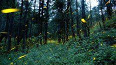 Cuando cae el sol comienza el maravilloso espectáculo del apareamiento de las luciérnagas, iluminando árboles y malezas.