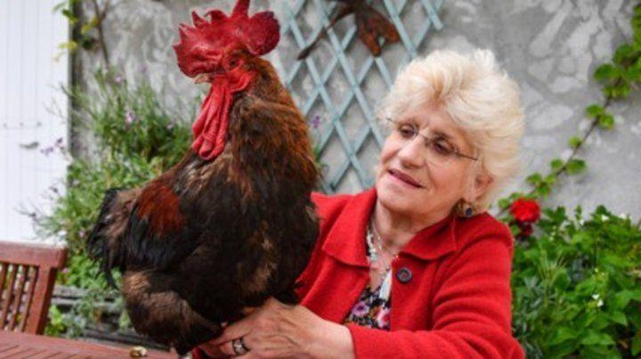 Una corte francesa falló a favor del gallo cantor Maurice