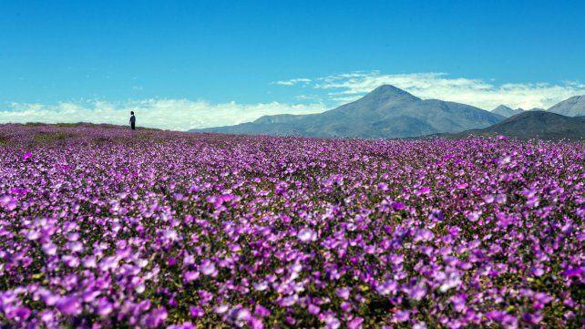 El desierto florido de Atacama