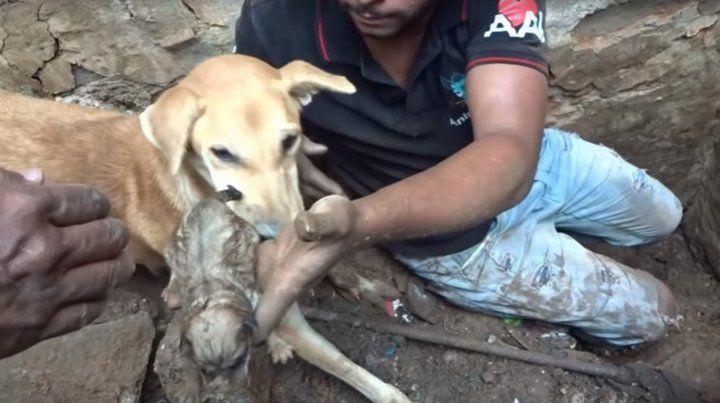 El video viral de una perra que ayudó a rescatar a sus dos cachorros sepultados