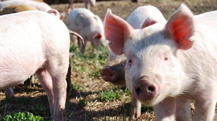 Peste porcina. El mercado mundial de cerdos se conmocionó con la crisis de China. La cadena productiva argentina está frente a una oportunidad.