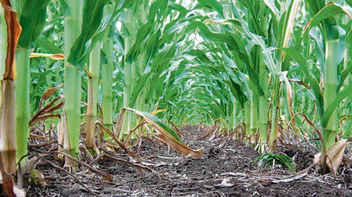 Más rápido. Casi 7 millones de toneladas de maíz tiene precio cerrado.