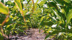 maiz. La falta de lluvias en septiembre y octubre afectaron al cultivo.