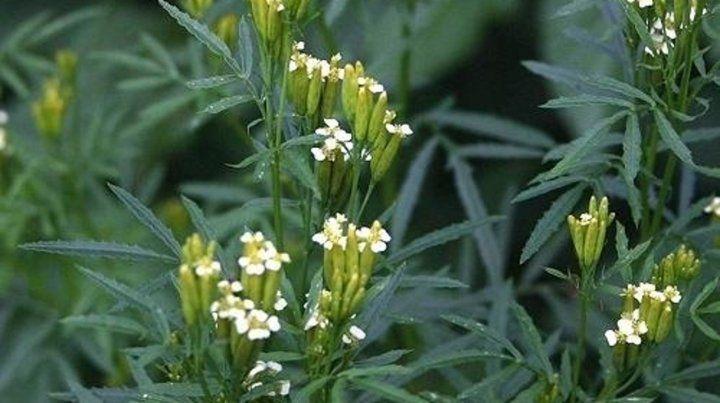 Serrana. El suico es una hierba con larga traidicion medicinal muy común en las sierras cordobesas.